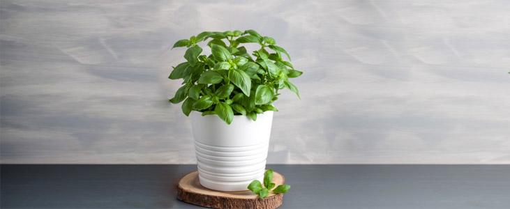 indian-basil indoor plant kerala