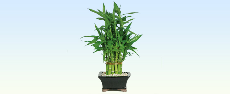 Lucky-Bamboo-plant indoor plant kerala