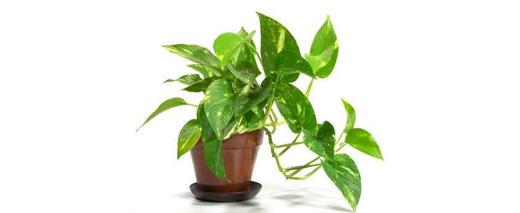 money-plant Indoor plant kerala